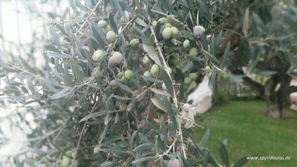 Spyridoulas Olivenöl - Oliven, die am Baum reifen