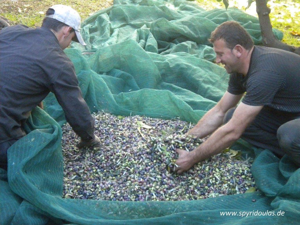 Gesundheitliche Aspekte des Olivenöls - zwei Männer bei der Ernte