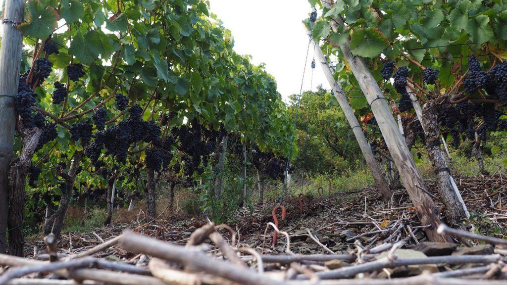 Ahrtal - zwischen die Weinrebengänge fotografiert. Ganz viele rote Weintrauben hängen an den Stöcken.