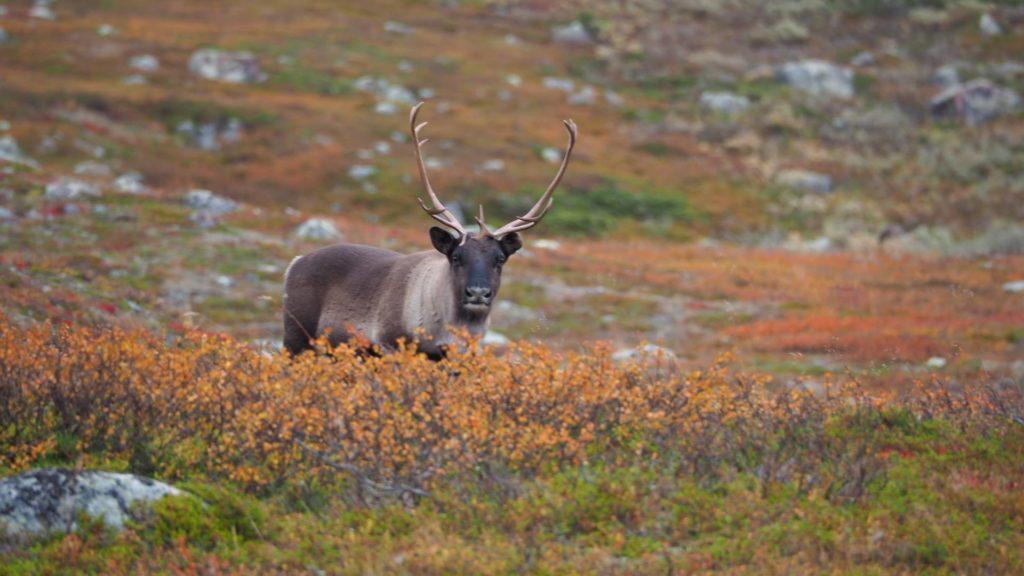 Wie viel brauchst du - Lappland, Jokkmokk, Jarre Berg - Rentier grast